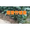 新湛江观音竹商家报价#湛江观音竹种植基地信息
