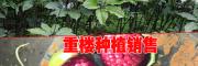 云南优质重楼种子多少钱一斤?
