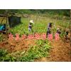 云南白芨块茎种苗一公斤多少钱?一公斤白芨块茎种苗有几株