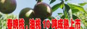 优质春晚桃,油桃价格一般多少?0871-64155848