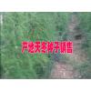 云南大天冬种子天冬种植户商家赵 13578350904