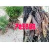 品牌大天冬种植户联系#云南大天冬种子多少一斤#