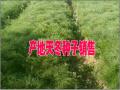 优质广西/云南大天冬种子天冬种植户商家赵