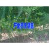 适合云南种植的天门冬种苗%丽江天冬苗子供应商
