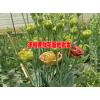 洋桔梗花卉哪里低价(附图)@洋桔梗种植技术