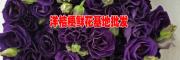 云南紫色洋桔梗