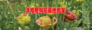 洋桔梗鲜花批发-个旧农业