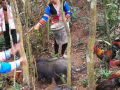 基诺族战士李正华-森林漫山遍地跑的鸡群