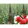 红富士苹果树苗哪里最多?云南红富士苹果树苗育苗场