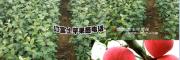 40公分左右红富士苹果苗多少钱?