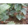 2017青香焦苹果苗销售#什么是青香蕉苹果小苗