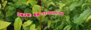 哪里的柿子树苗低价#优质云南柿子小苗销售