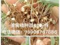 文山白芨苗图片(50亩)