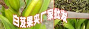 白芨多少一斤%白芨种苗价(云南白芨果夹)