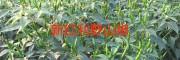 200多亩地朝天椒苗