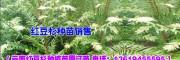 红豆杉树苗价格 3米高红豆杉树苗价格 