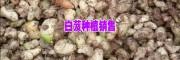 云南昭通白芨种苗批发厂家