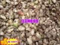 最新白芨种苗批发供应商(厂家) (12)