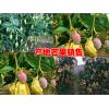 云南芒果品种◆云南芒果好吃吗?云南有哪些芒果
