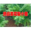 黄花梨权威鉴定#黄花梨树苗哪里有卖@黄花梨怎样种植