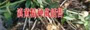 2017批发滇黄精小苗价格是多少{雷先生1473673983}