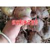 云南普洱黄精一亩需要多少苗子 镇沅黄精种植基地种苗销售 