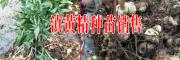2017滇黄精小苗图片