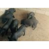 云南红河小耳猪养殖基地[版纳小耳猪13887929454