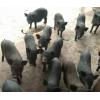 小耳猪养殖基地版纳小耳猪