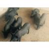 小耳猪新品种★小耳猪价格★小耳猪种苗13887929454。