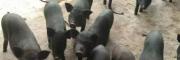 供应小耳猪价格★小耳猪种苗价格