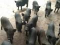 西双版纳小耳猪视频 (4)