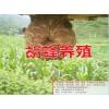 朱涛胡蜂养殖技术公开%云南新胡蜂养殖技术视频哪里能学习