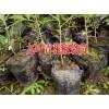 云南种植九叶青花椒的技术丨昆明九叶青花椒高产管理方丨