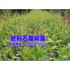 石榴软籽-云南软籽石榴哪里有销售—会泽高老庄农业公司出品