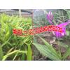 白芨苗价格是多少?云南省紫花三叉白及种苗怎么样?