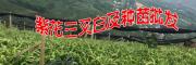 云南白芨种苗价格是多少