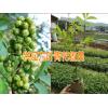 青花椒哪里在收购%买苗保回收九叶青花椒