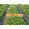 云南德宏/丽江九叶青花椒苗树苗#九叶青花椒种植技术
