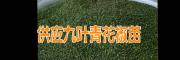 2017九叶青花椒苗报价