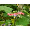 云南小苦果直销商|云南苦果的吃法|云南苦果图片-广南苦子果种植基地