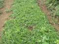 金铁锁种子&15-20天发芽#独定子种植技术