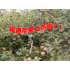云南昭通苹果种植中心#昭通苹果公司