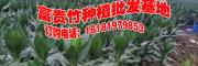 2017观音竹种植基地图片/报价/采购