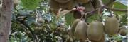 红心猕猴桃图片