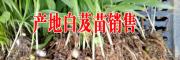 剑川白芨小苗销售