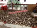 云南普洱白芨苗供应商图片