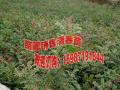 板栗树该怎么种植方法#安宁毅恒果苗种植园红梨苗