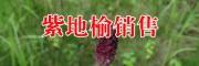 云南木香种植 玄参云南供应商