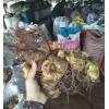 黄精/滇黄精/多花黄精&云南镇沅哪里有滇黄精苗销售